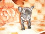 Собаки, щенята Французький бульдог, ціна 1600 Грн., Фото