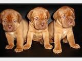 Собаки, щенки Бордосский дог, цена 2500 Грн., Фото