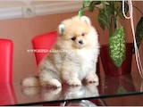 Собаки, щенята Вольфшпіц, ціна 16000 Грн., Фото
