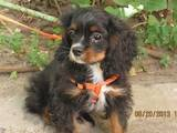 Собаки, щенята Кавалер-кинг-чарльз спаніель, ціна 5000 Грн., Фото