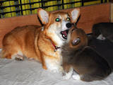 Собаки, щенки Вельш корги пемброк, цена 4200 Грн., Фото