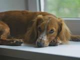 Собаки, щенки Английский спрингер спаниель, Фото