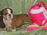 Собаки, щенки Английский бульдог, цена 2700 Грн., Фото