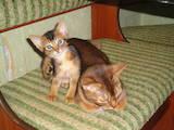 Кішки, кошенята Абіссінська, ціна 6500 Грн., Фото