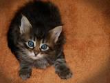 Кошки, котята Турецкая ангора, цена 300 Грн., Фото