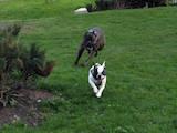 Собаки, щенята Кане Корсо, ціна 800 Грн., Фото