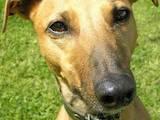 Собаки, щенки Грейхаунд, цена 1200 Грн., Фото