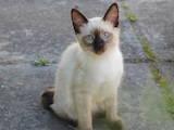Кішки, кошенята Меконгській бобтейл, ціна 1000 Грн., Фото