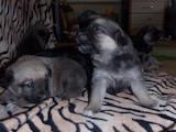 Собаки, щенки Бельгийская овчарка (Малинуа), цена 500 Грн., Фото