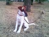 Собаки, щенята Гладкошерста фокстер'єр, ціна 2000 Грн., Фото