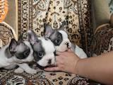 Собаки, щенята Французький бульдог, ціна 1400 Грн., Фото