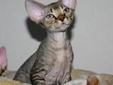 Кошки, котята Девон-рекс, цена 10 Грн., Фото