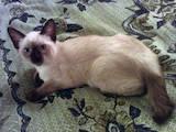 Кошки, котята Меконгский бобтейл, цена 1200 Грн., Фото
