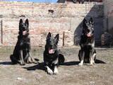 Собаки, щенята Східно-Європейська вівчарка, Фото