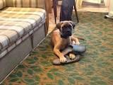 Собаки, щенята Бульмастиф, ціна 800 Грн., Фото
