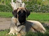Собаки, щенки Английский мастиф, цена 12000 Грн., Фото