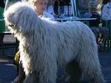 Собаки, щенята Комондор, ціна 9000 Грн., Фото