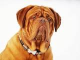 Собаки, щенята Бордоський дог, ціна 10000 Грн., Фото