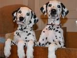 Собаки, щенята Далматин, ціна 2000 Грн., Фото