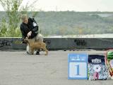 Собаки, щенки Бульмастиф, цена 4000 Грн., Фото