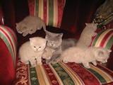 Кошки, котята Британская длинношёрстная, цена 600 Грн., Фото