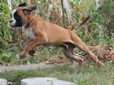 Собаки, щенки Боксер, цена 70 Грн., Фото