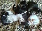 Кішки, кошенята Орієнтальна, ціна 5 Грн., Фото