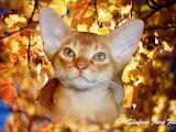 Кошки, котята Абиссинская, цена 6000 Грн., Фото