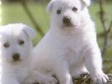 Собаки, щенята Біла Швейцарська вівчарка, ціна 2700 Грн., Фото