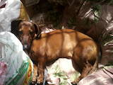 Собаки, щенята Гладкошерста кроляча такса, ціна 330 Грн., Фото