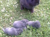 Грызуны Кролики, цена 200 Грн., Фото