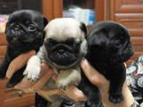 Собаки, щенята Мопс, ціна 1500 Грн., Фото