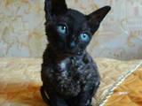 Кішки, кошенята Корніш-рекс, ціна 1100 Грн., Фото