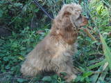 Собаки, щенята Американський коккер, ціна 1600 Грн., Фото