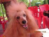 Собаки, щенята Карликовий пудель, ціна 2700 Грн., Фото