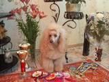 Собаки, щенки Карликовый пудель, цена 2700 Грн., Фото