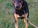 Собаки, щенята Різне, ціна 1 Грн., Фото