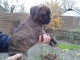 Собаки, щенки Боксер, цена 800 Грн., Фото