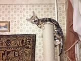 Кішки, кошенята Бенгальськая, ціна 1000 Грн., Фото