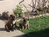 Собаки, щенки Боксер, цена 500 Грн., Фото