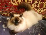 Кошки, котята Невская маскарадная, цена 1200 Грн., Фото