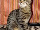 Кішки, кошенята Єгипетська мау, ціна 400 Грн., Фото