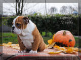 Собаки, щенята Англійський бульдог, ціна 8000 Грн., Фото