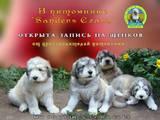 Собаки, щенки Южнорусская овчарка, цена 8000 Грн., Фото