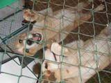 Собаки, щенята Східно-сибірська лайка, ціна 900 Грн., Фото