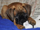 Собаки, щенки Бульмастиф, цена 2000 Грн., Фото