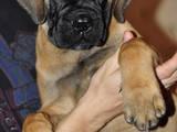 Собаки, щенки Бульмастиф, цена 1 Грн., Фото