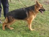 Собаки, щенки Занятия, тренировки, цена 3600 Грн., Фото