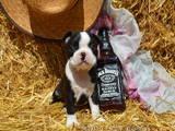 Собаки, щенята Бостонтерьер, ціна 16000 Грн., Фото
