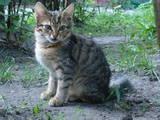 Кошки, котята Европейская короткошерстная, цена 25 Грн., Фото
